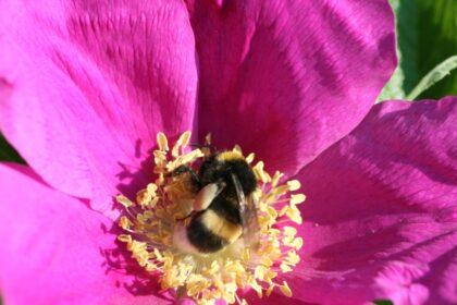 Heckenrose mit Biene